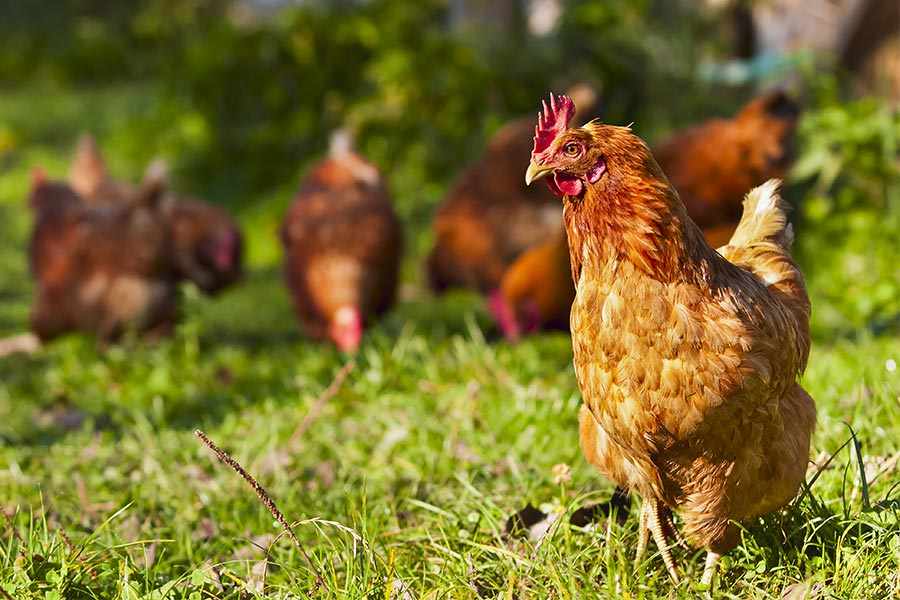 CIPD 2016: What HR can learn from chickens